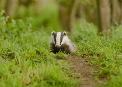 Badger  cub foraging