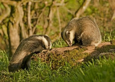 Badger cubs feeding