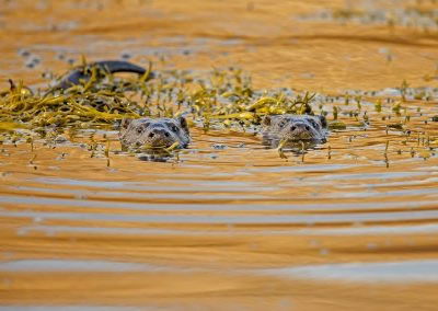 Otters in the setting sun