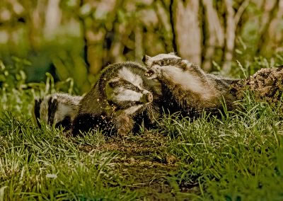 Badger squabble