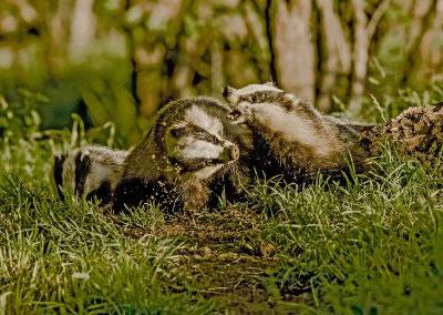 Badger squabble