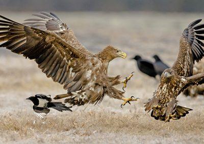 White-tailed Eagle squabble
