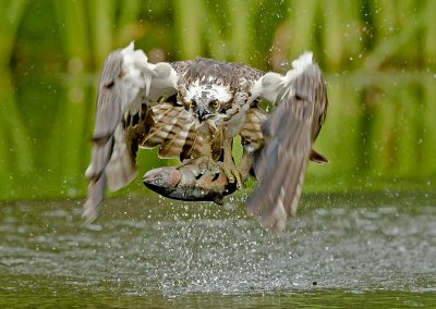 1440 cropped osprey BI4X9844