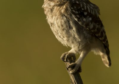 Little owl 7