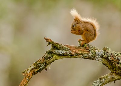 720 1200 1200 red squirrel _I4X7942