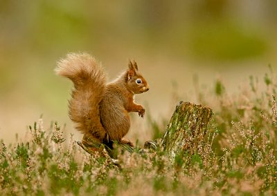 720 1200 red squirrel _I4X7632