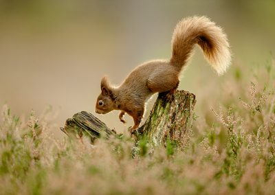 720 1200 red squirrel _I4X8086