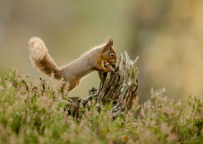 720 1200 red squirrel _I4X8096