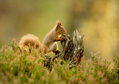 720 1200 red squirrel _I4X8103