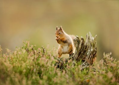 720 1200 red squirrel _I4X8129