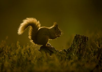 720 1200 red squirrel _I4X8188