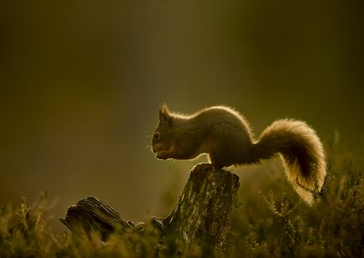 720 1200 red squirrel _I4X8238