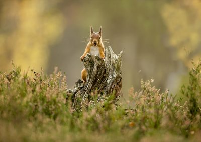 720 1200 red squirrel _I4X8391
