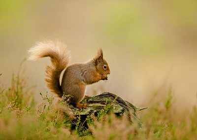 720 1200 red squirrle _I4X8260
