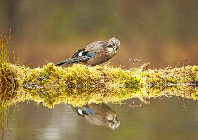 Eurasian Jay reflection