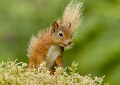 720 1440 red Squirrel _I4X7813