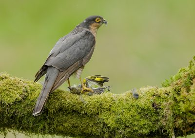 Sparrowhawk with a greenfinch 1