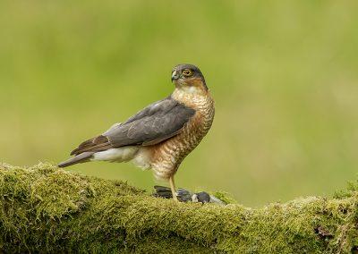 720 1440 sparrowhawk _I4X1401