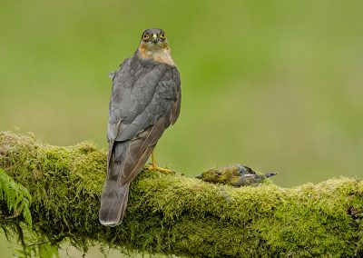 Sparrowhawk with a greenfinch
