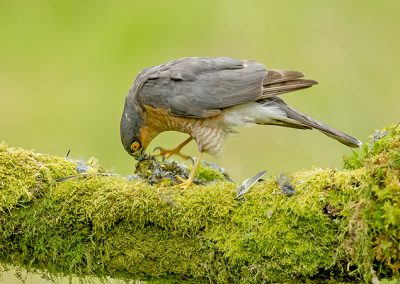 Sparrowhawk eating a greenfinch 1