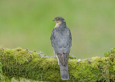 Sparrowhawk over the shoulder