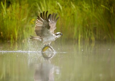 Osprey misty water
