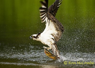 Osprey successful dive