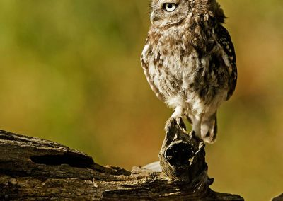 Little owl 11