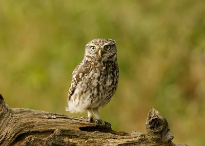 Little owl 10