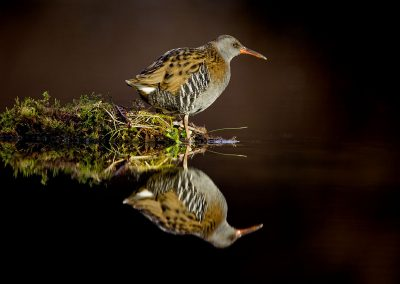Water Rail reflection