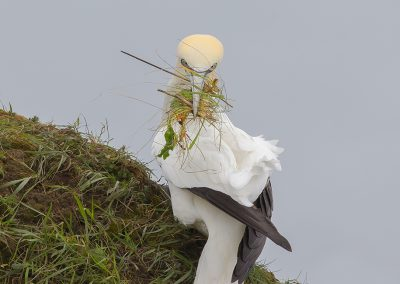 Northern Gannet collecting nesting materials
