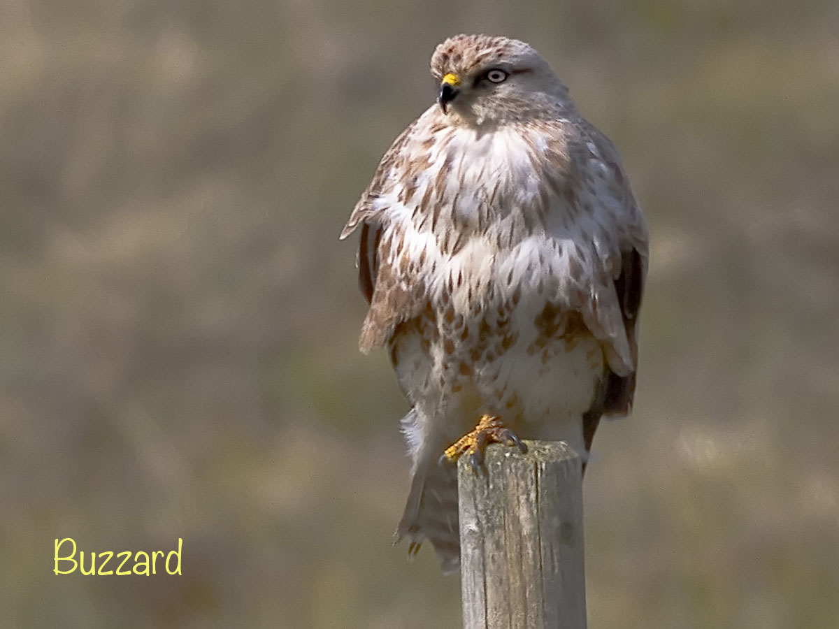 12 x 9 cropped light buzzard IMG_1193