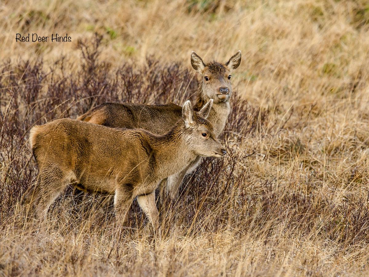12 x 9 red deer BI4X5662