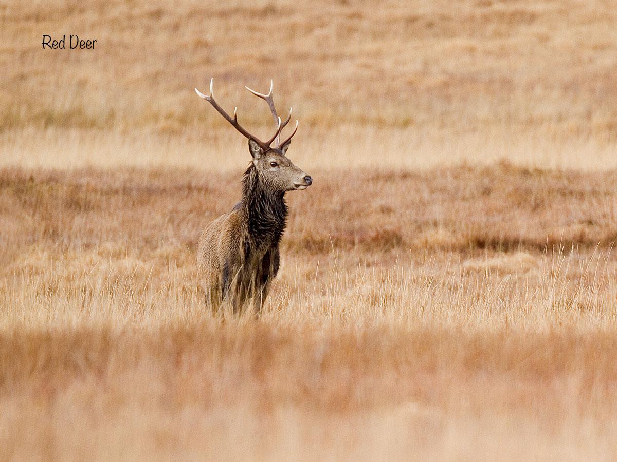 12 x 9 red deer IMG_0083