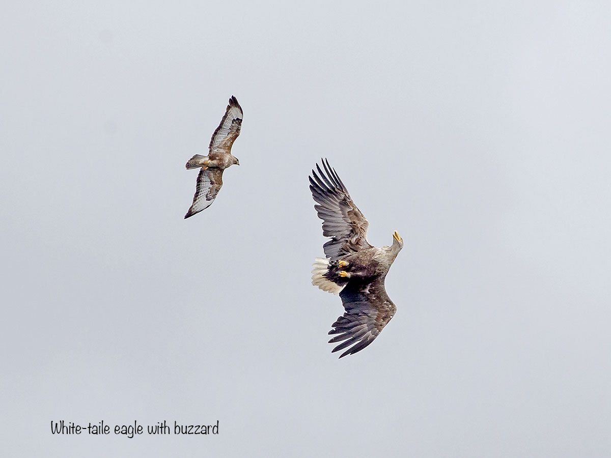 12 x 9 white-tailed Eagle and buzzard AF2T1338-2