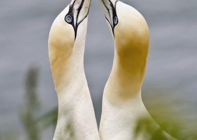 Northern Gannet courtship