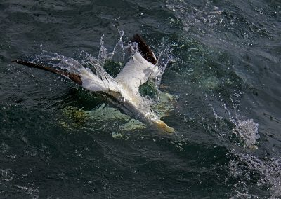 Northern Gannet diving for fish
