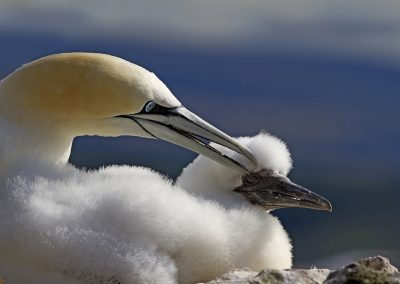 Northern Gannet Preening young