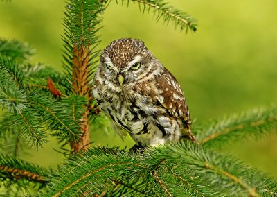 Little Owl looking determined