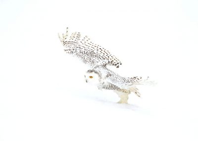 1Snowy Owl 7