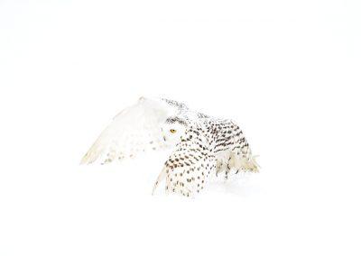 Snowy Owl 11