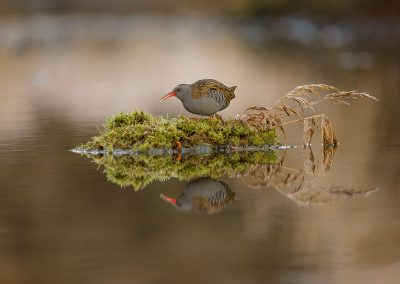 Water Rail foraging for food
