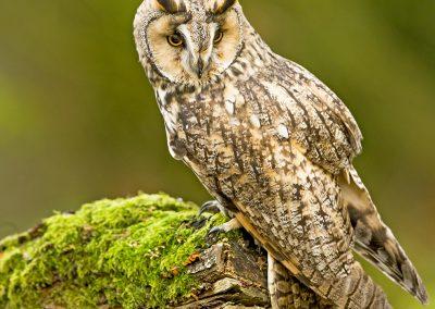 Log eared Owl 9