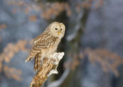 1200 Ural owl