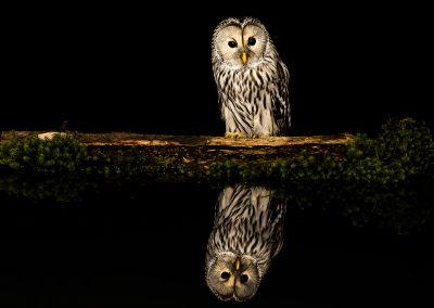1200 Ural owl _F2T6854