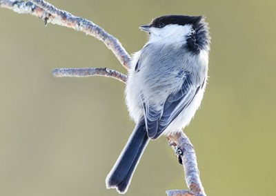 Willow Tit 3