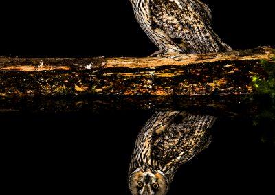 Log eared Owl 2