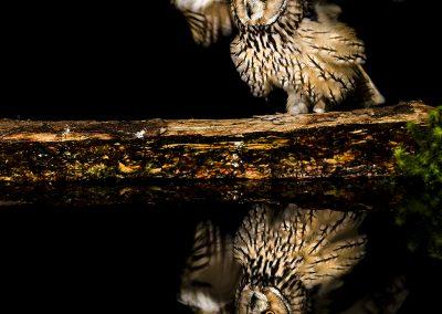 Log eared Owl 1