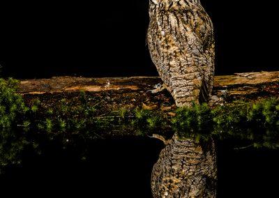 Log eared Owl