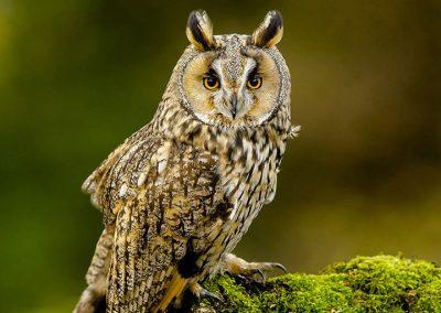 Log eared Owl 10